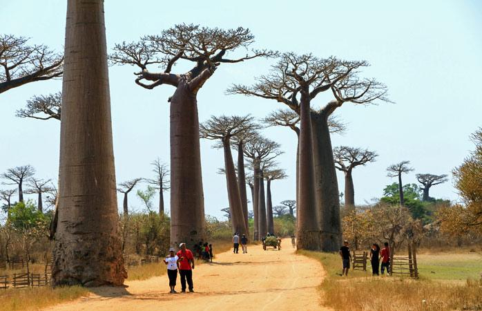 Abrace um baobá na Avenida dos Baobás em Morondova